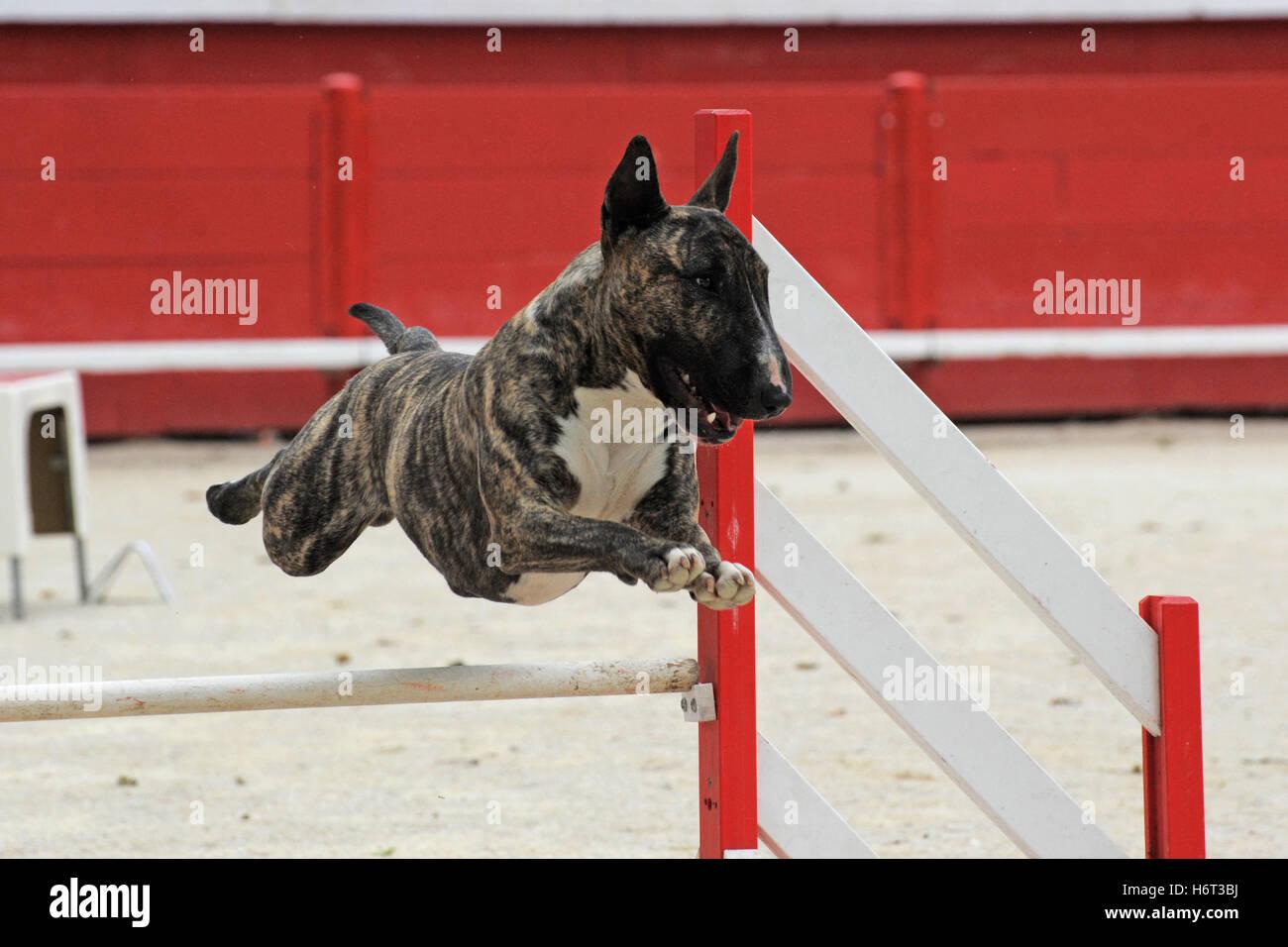 dog spring bouncing bounces hop skipping frisks jumping jump agility sport sports run running runs motion postponement - Stock Image