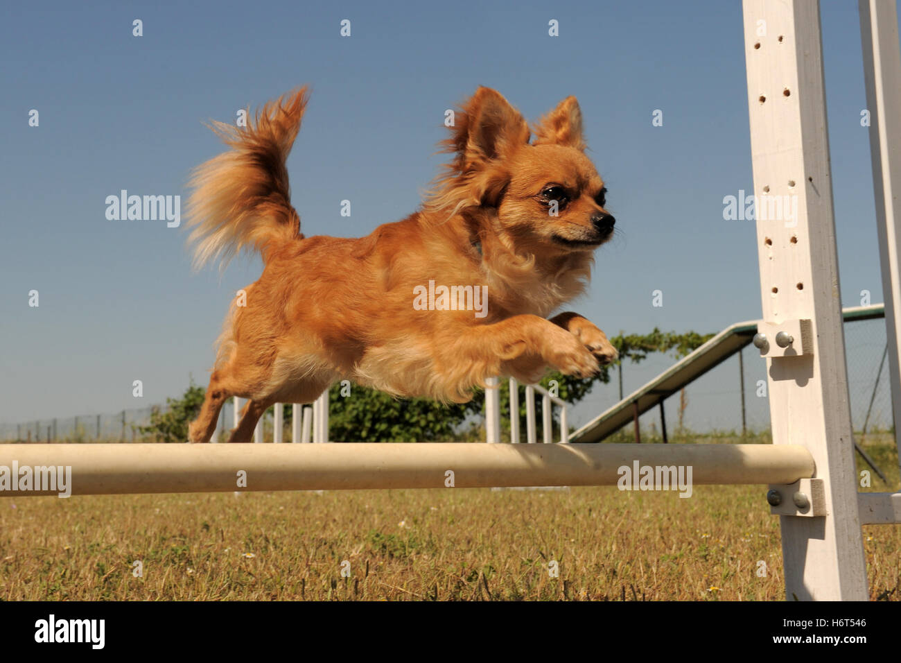 sport sports dog spring bouncing bounces hop skipping frisks jumping jump puppy agility motion postponement moving - Stock Image