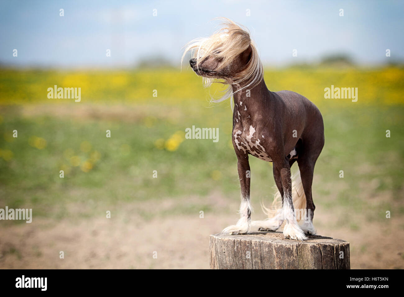 animal, pet, field, summer, summerly, dog, chinese, meadow, grass, lawn, green, - Stock Image