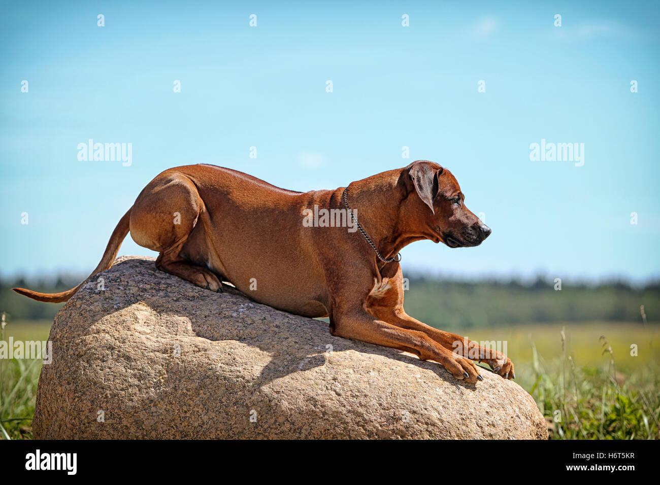 animal, pet, field, summer, summerly, sunlight, dog, firmament, sky, meadow, - Stock Image