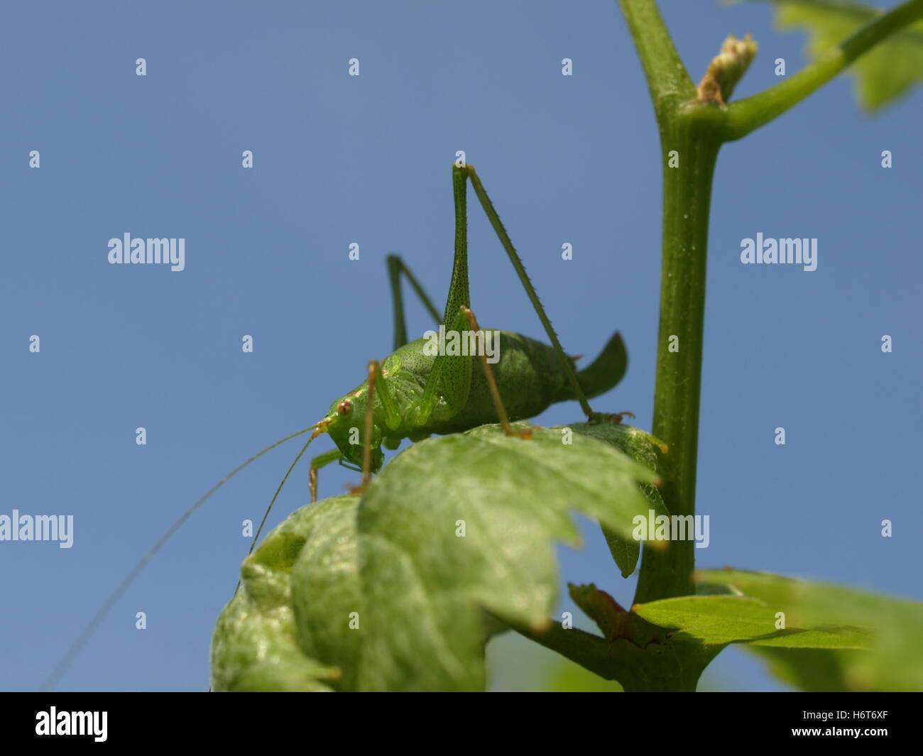 plump schrecke - Stock Image