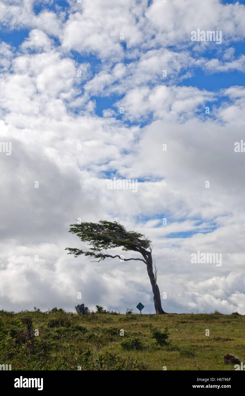 tree, trees, argentina, crooked, warped, hunchbacked, humpbacked, bowed, bent, - Stock Image