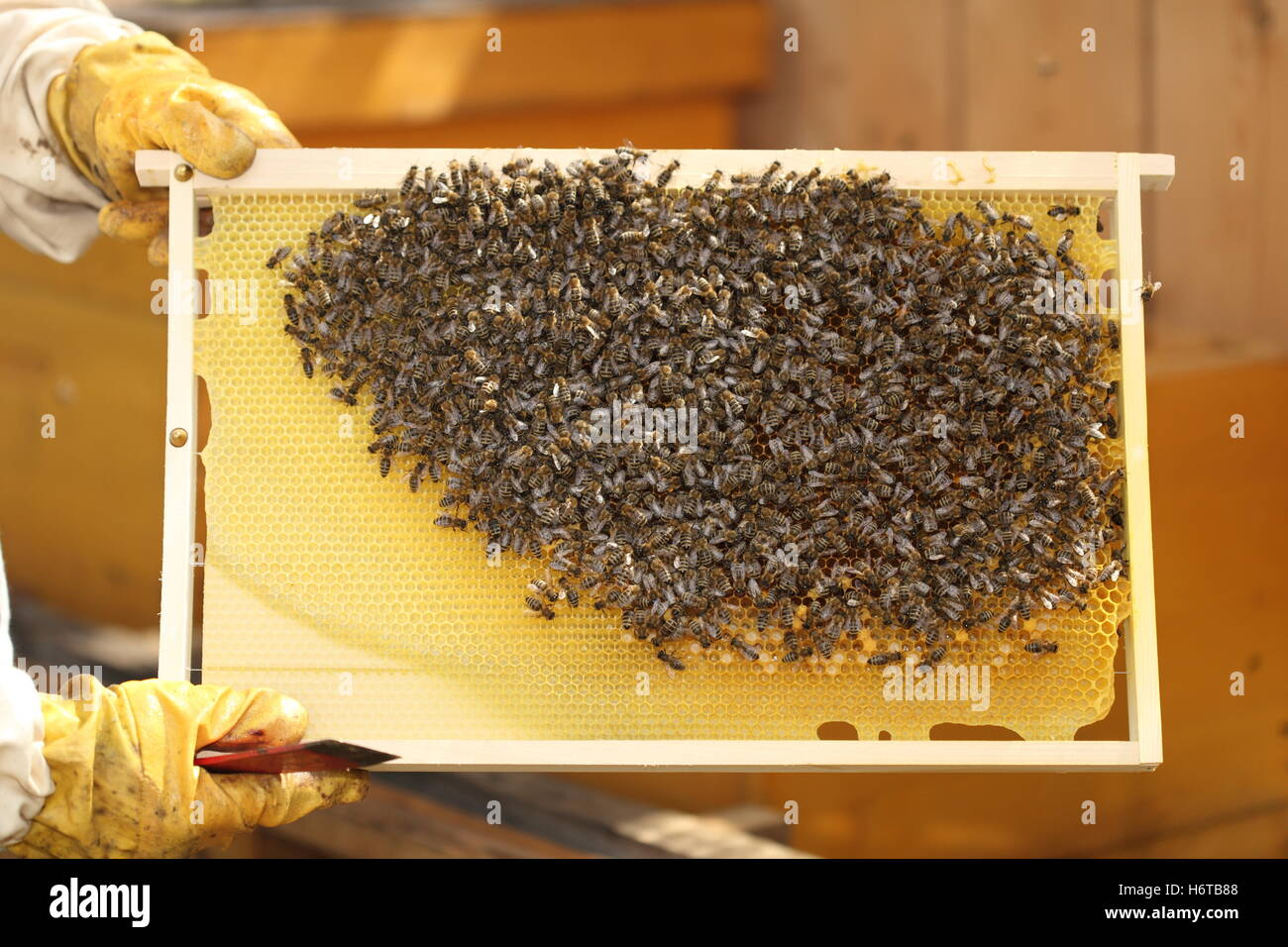 bees beehive poor man beeswax honey insect bee check food aliment tool health detail stock provision eco sweetly - Stock Image