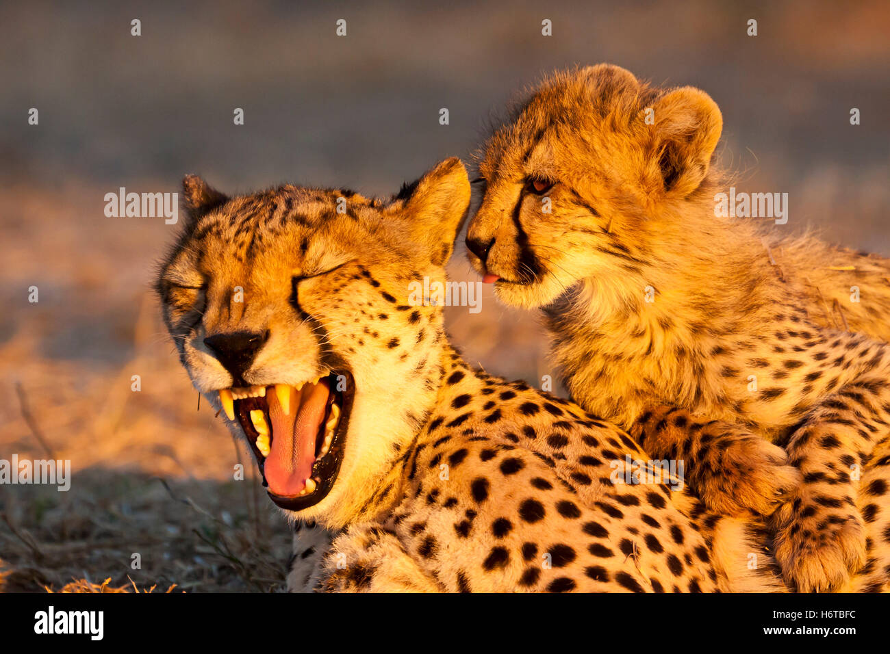 young cheetah (acinonyx jubatus) cheetah mother in abendlich - Stock Image