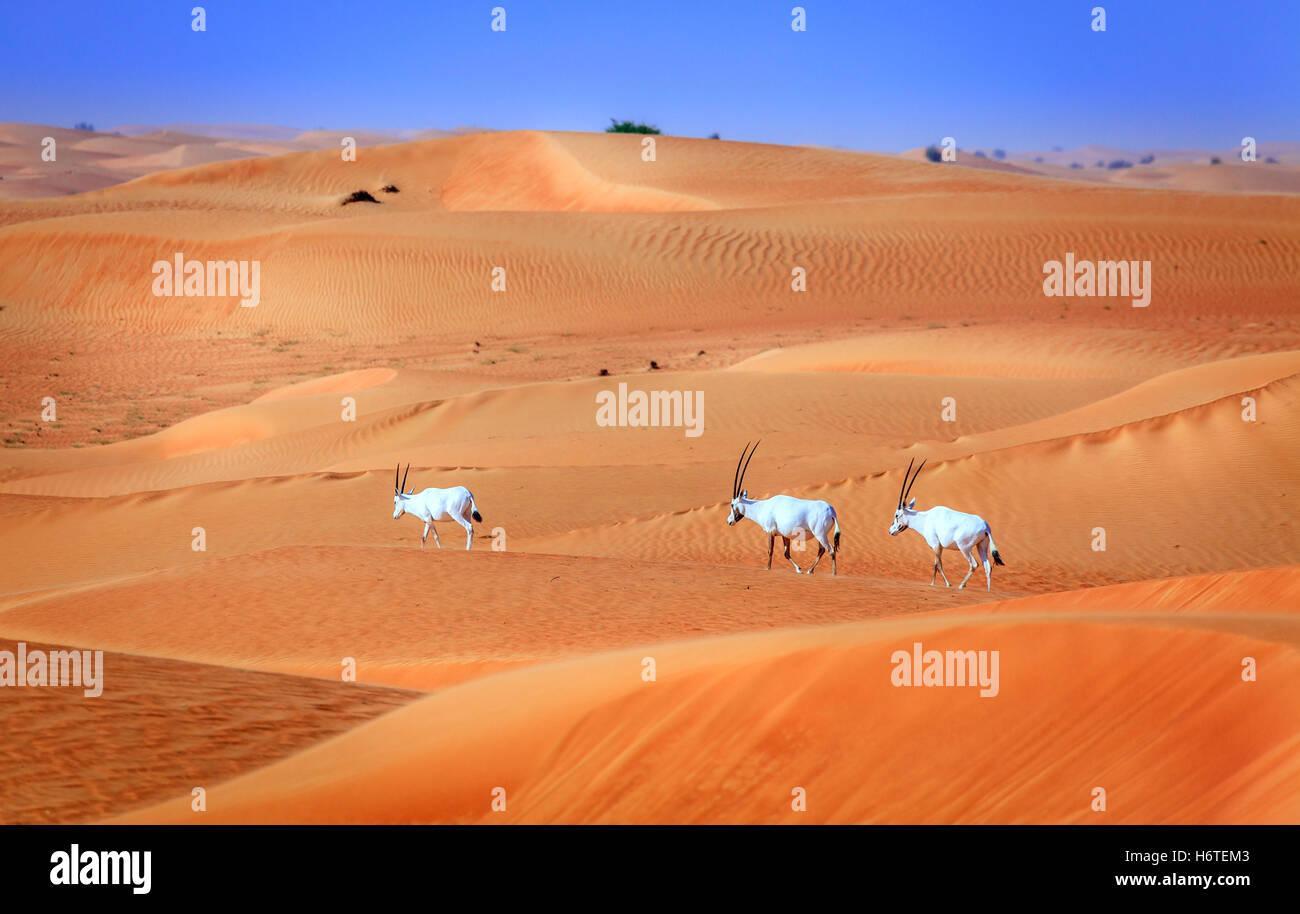 Oryxes or Arabian antelopes in the Desert Conservation Reserve near Dubai, UAE Stock Photo