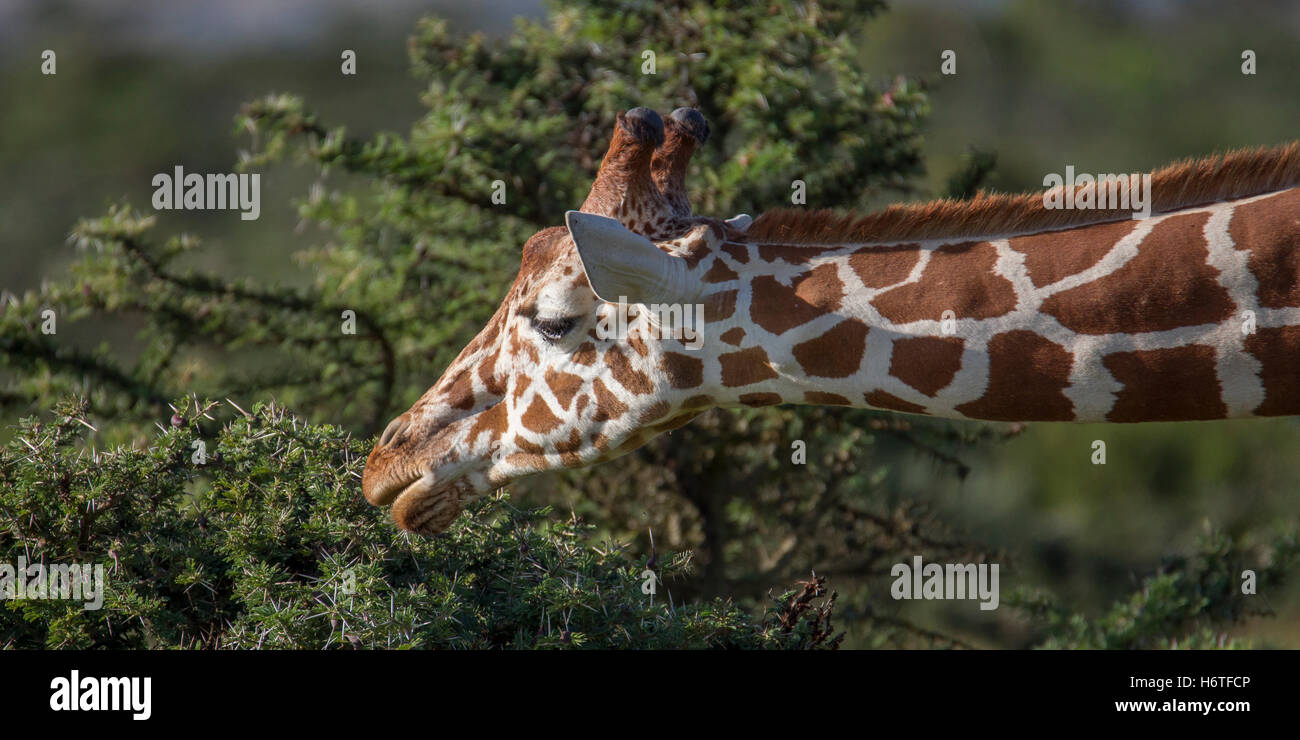 "A Reticulated giraffe Giraffa reticulata ""Somali giraffe"", stretching to feed on acacia undergrowth, Laikipia Kenya Stock Photo"