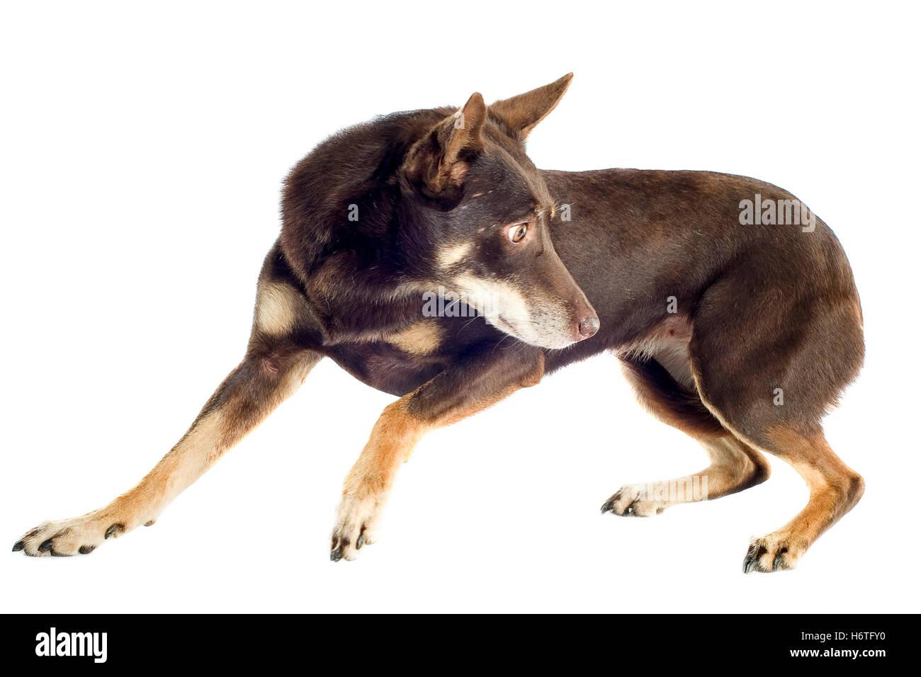 dog, australian, animal, pet, brown, brownish, brunette, look, glancing, see, - Stock Image