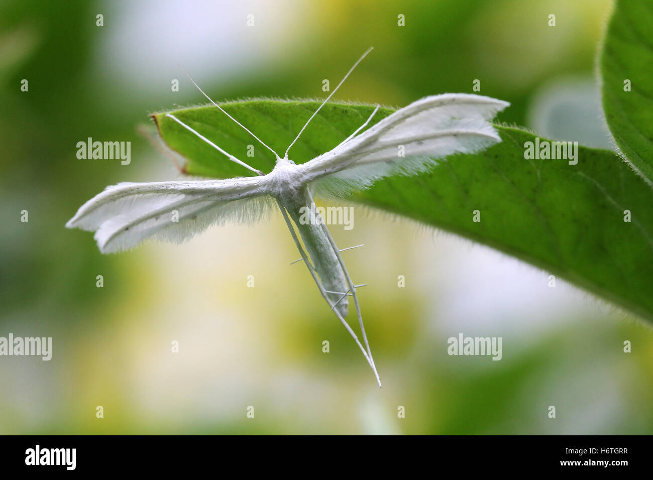 the many-plumed moth or pterophoridae - Stock Image