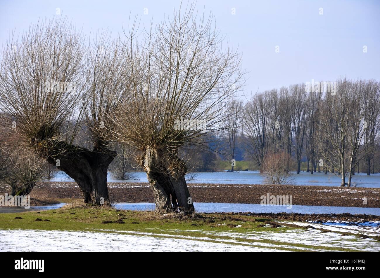 kopfweiden am niederrhein - Stock Image