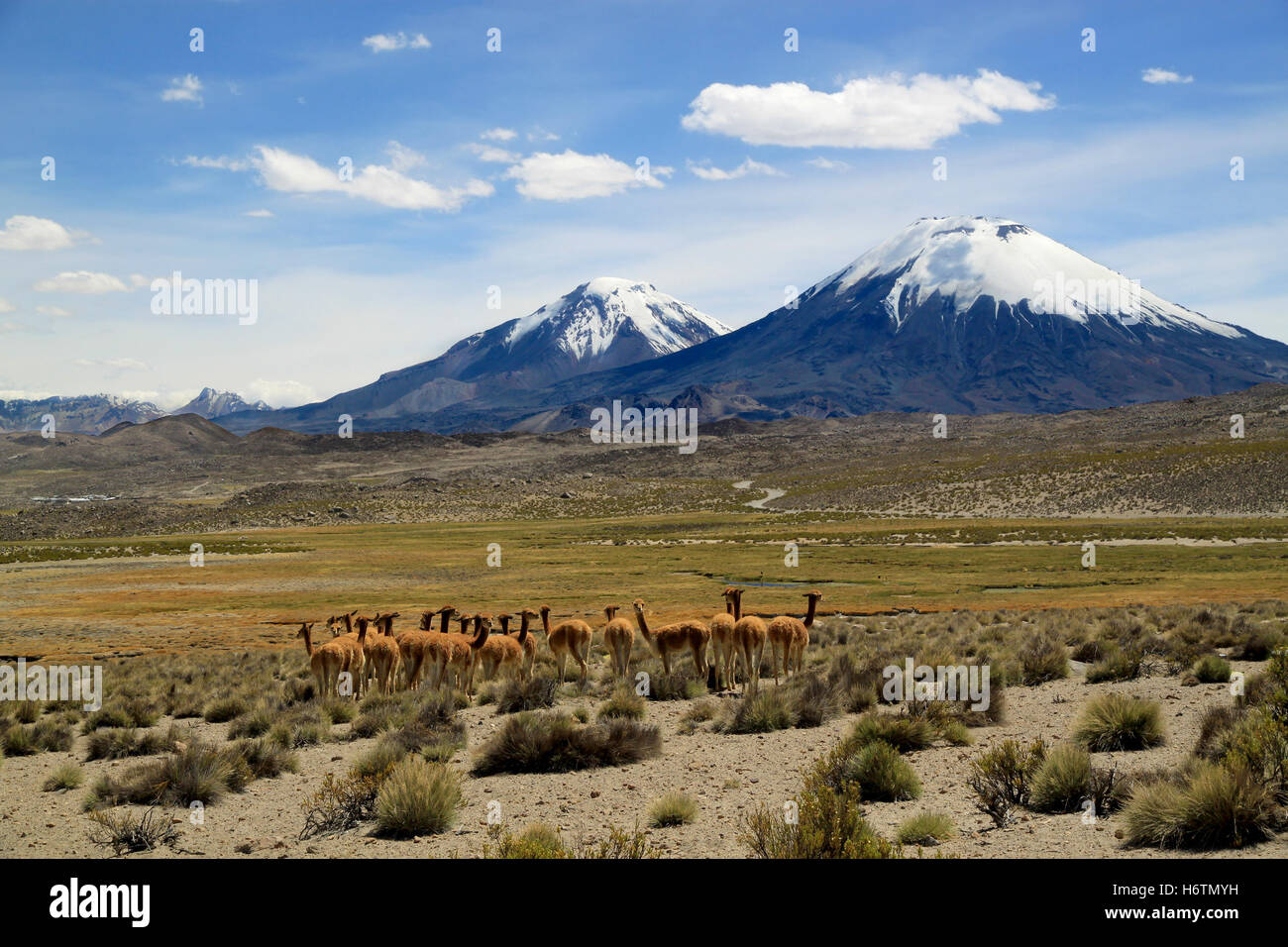 Vicunas near volcanoes. Payachata volcanic group at Lauca National Park, Chile - Stock Image