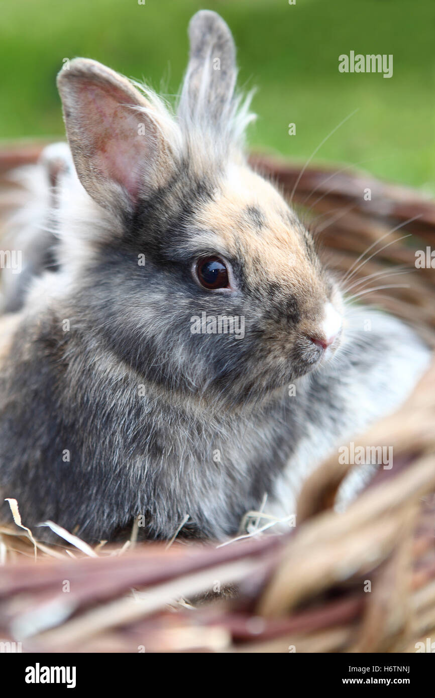 lionhead bunny # 2 Stock Photo