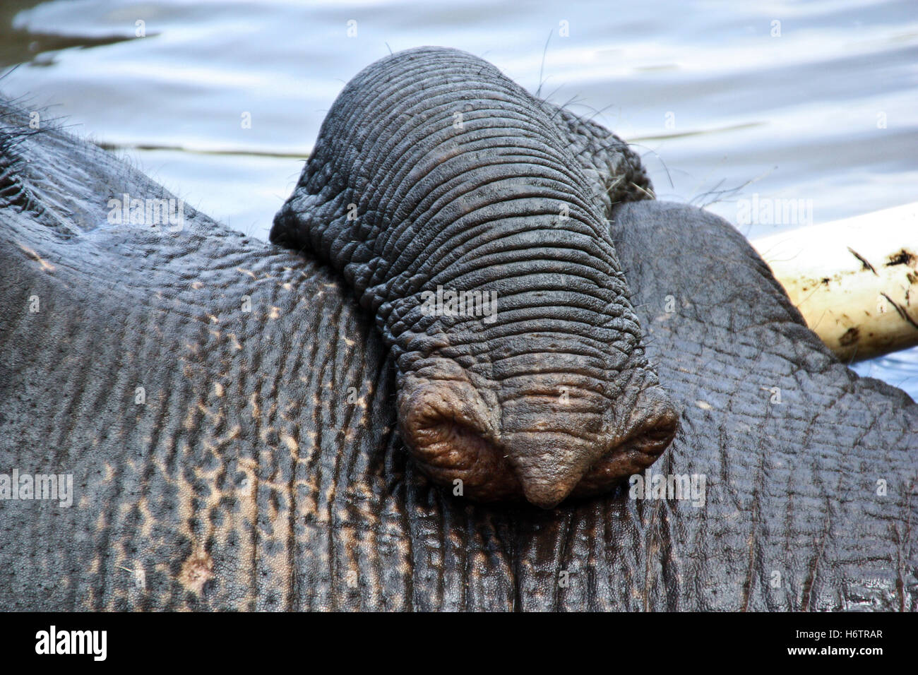 detail animal elephant tusk tame pictogram symbol pictograph trade symbol age close travel macro close-up macro - Stock Image