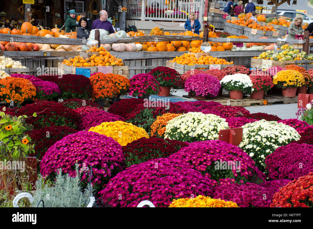 Brightly colored mums flowers, pumpkins, and other autumn produce at Baugher's Orchards and Farms in Westminster, - Stock Image