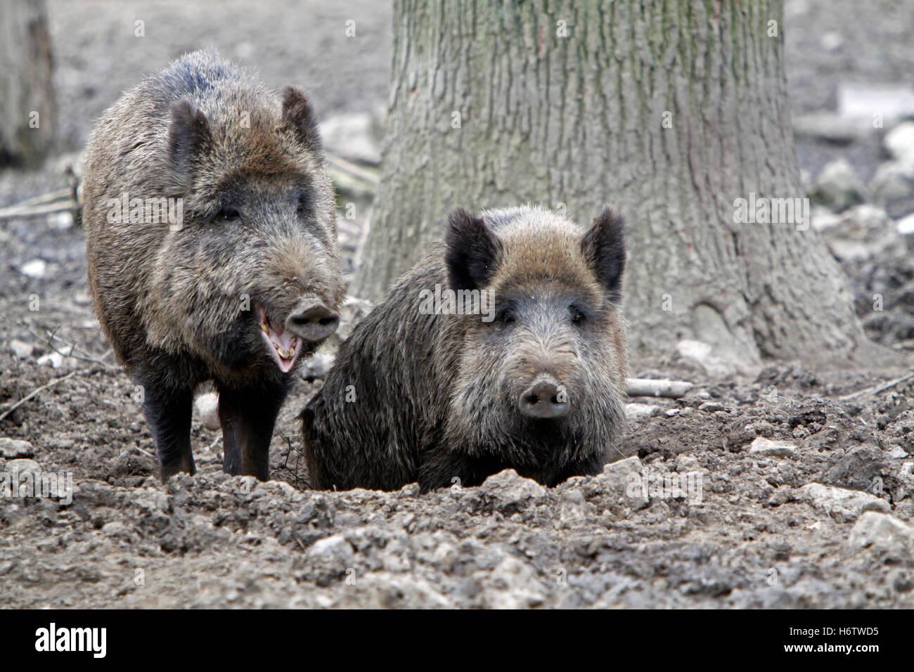 mammal wild wild boar pig wild animal wild boars mammal wild dirt mud wild boar pig brooks wild animal wild boars - Stock Image
