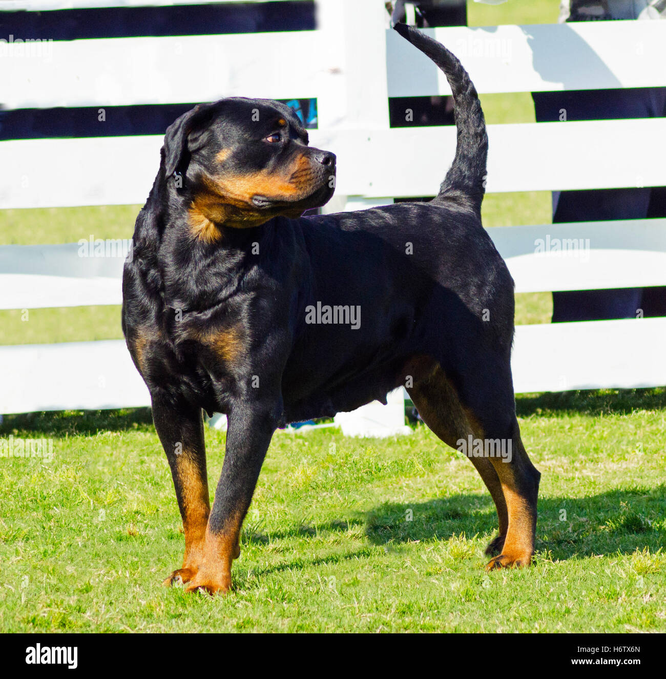 animal guard dog watchdog rottweiler security safety protector walk go going walking friendship beautiful beauteously - Stock Image