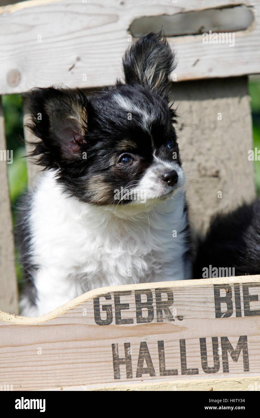 animal pet dog puppy young animal animal pet dog puppy young animal lap dog lapdog chihuahua kleinhund junghund - Stock Image