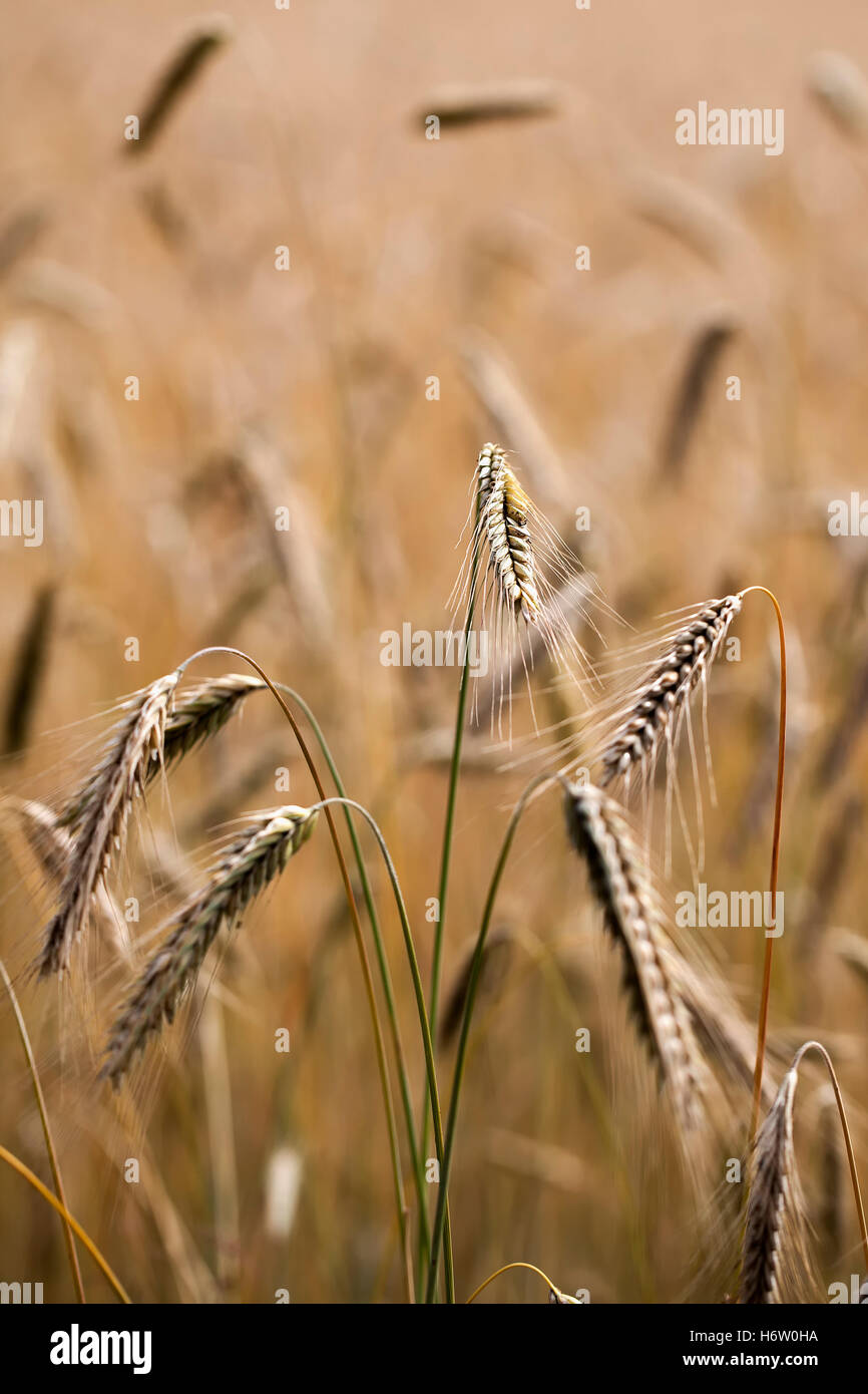 rye - ears of corn in a close-ups - Stock Image