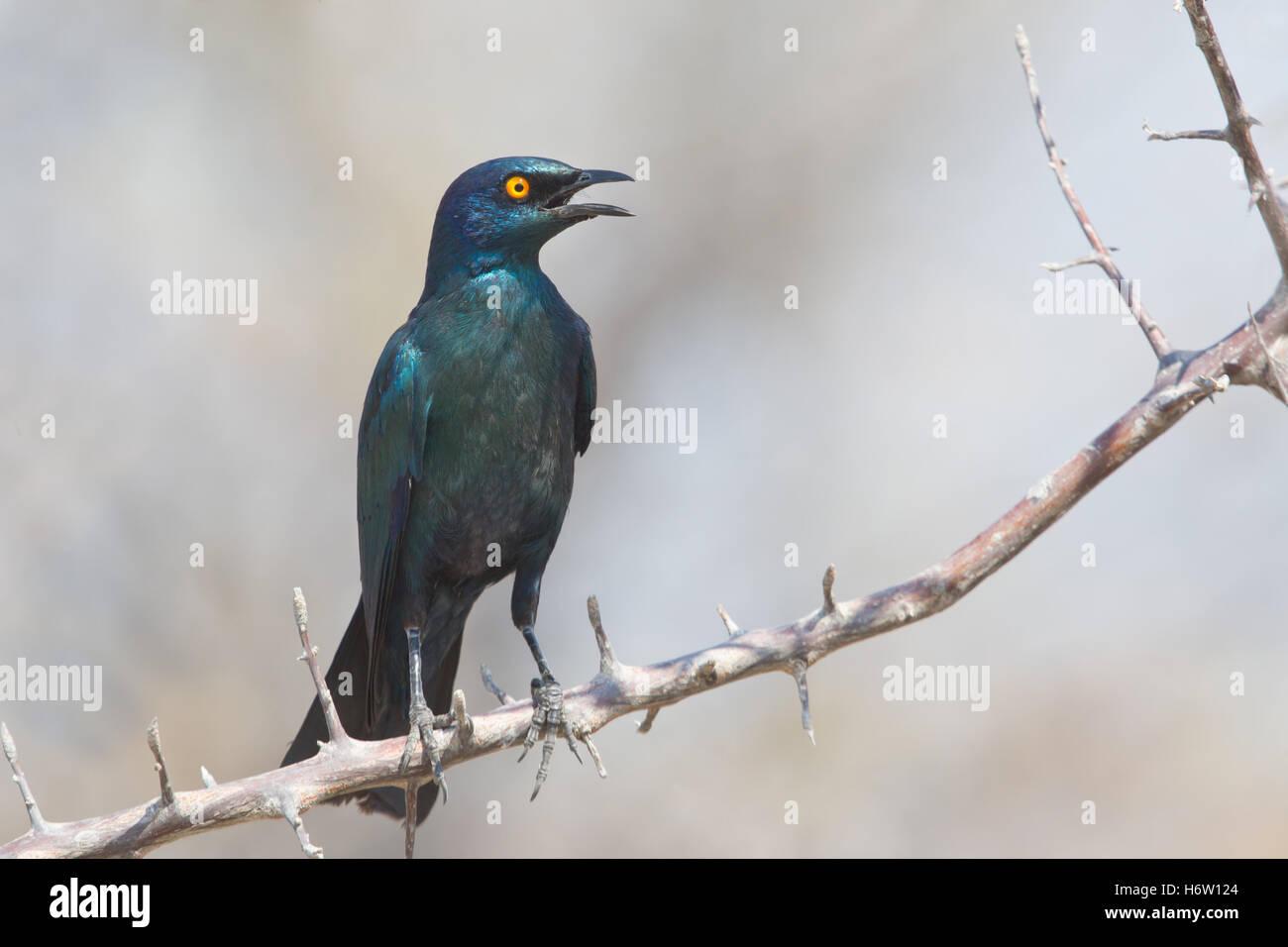 bird namibia birds bird namibia birds glanzstar schwarzbauch glanzstar schwarzbauch afrika afrikanisch afrikanische - Stock Image