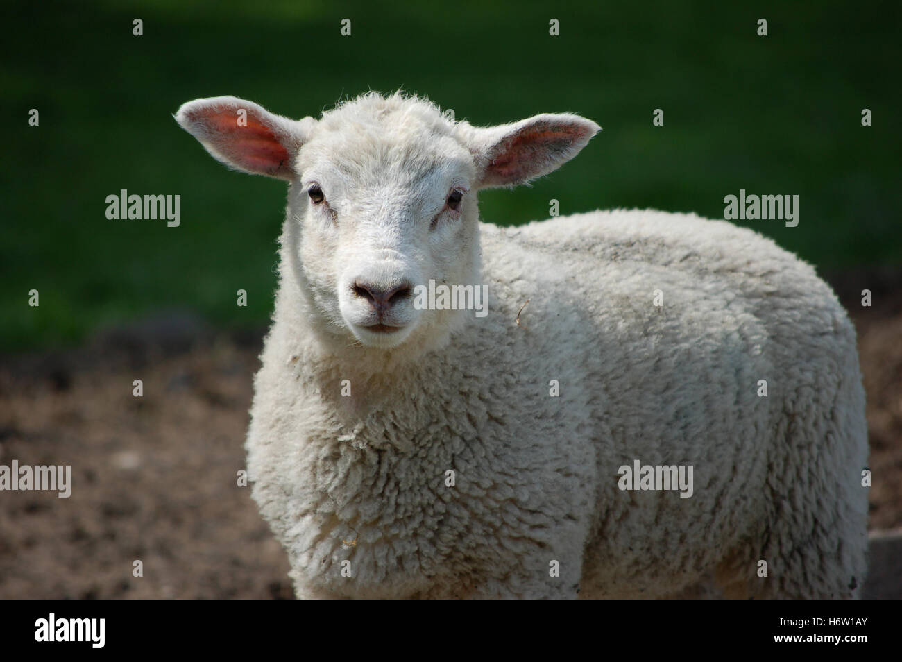 sweet animal agriculture farming field sheep wool easter spring bouncing bounces hop skipping frisks jumping jump - Stock Image