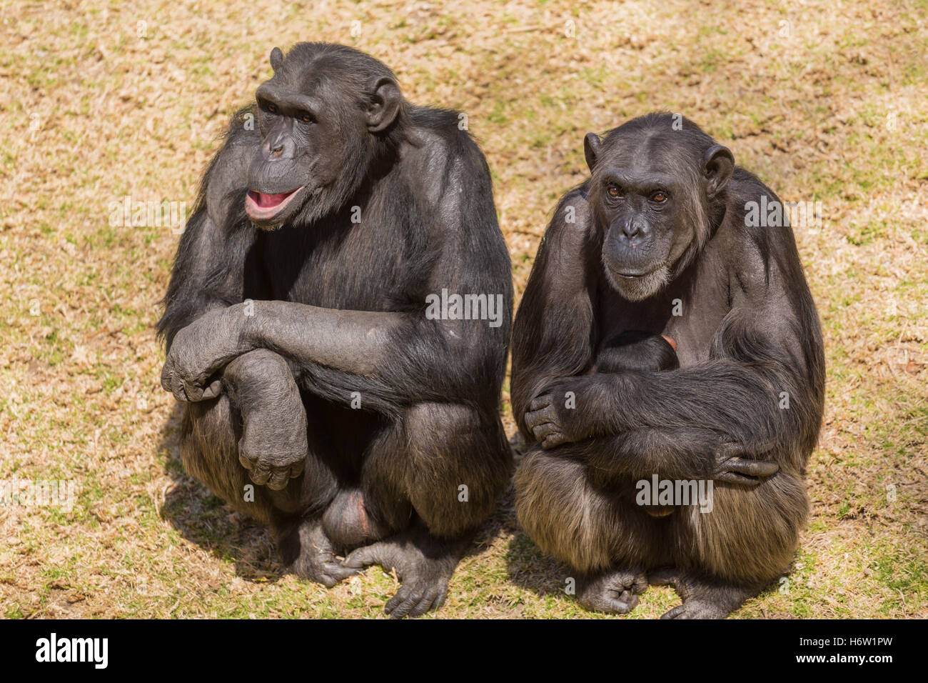 animal africa wildlife safari animal mammal wild monkey black swarthy jetblack deep black wildlife chimpanzee nature - Stock Image