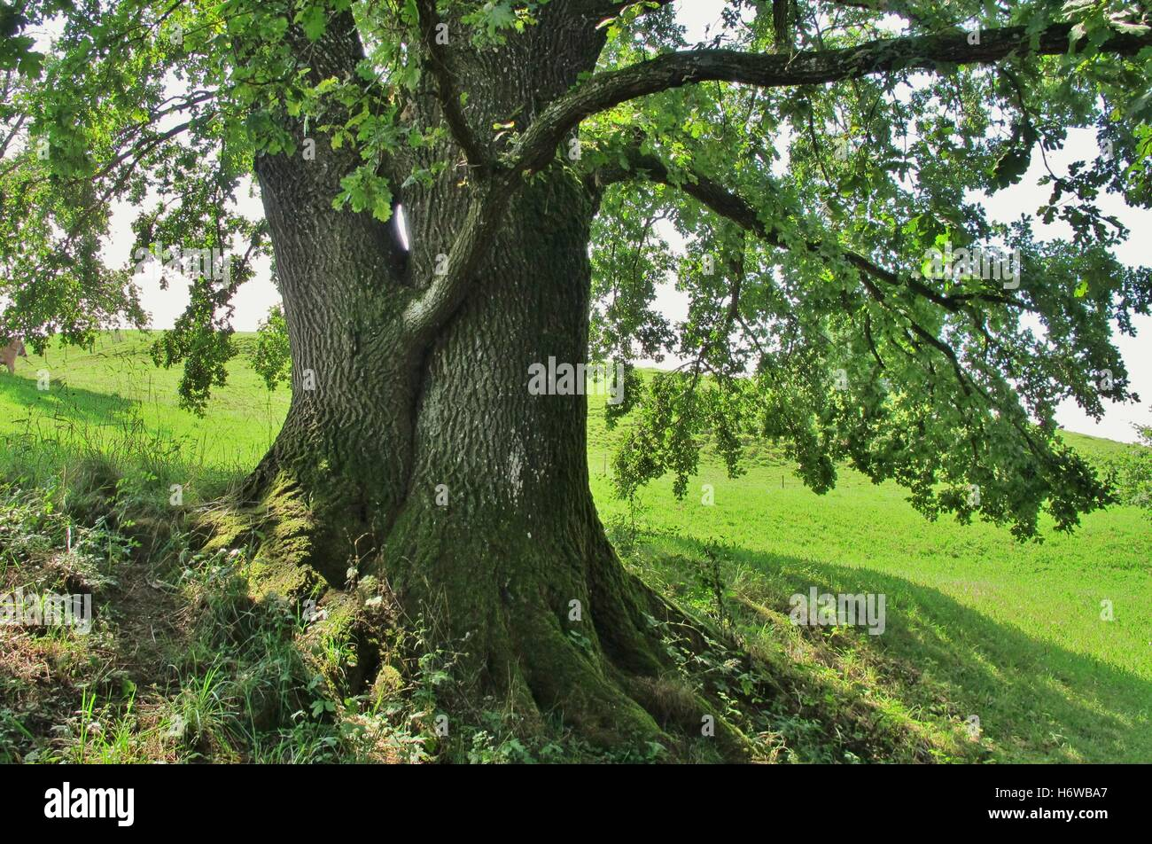 big large enormous extreme powerful imposing immense relevant tree green trunk branches oak old aste schattten - Stock Image