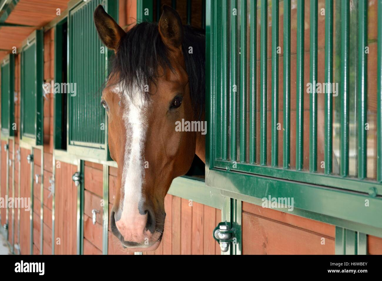 horsehead peeping out the stables - Stock Image