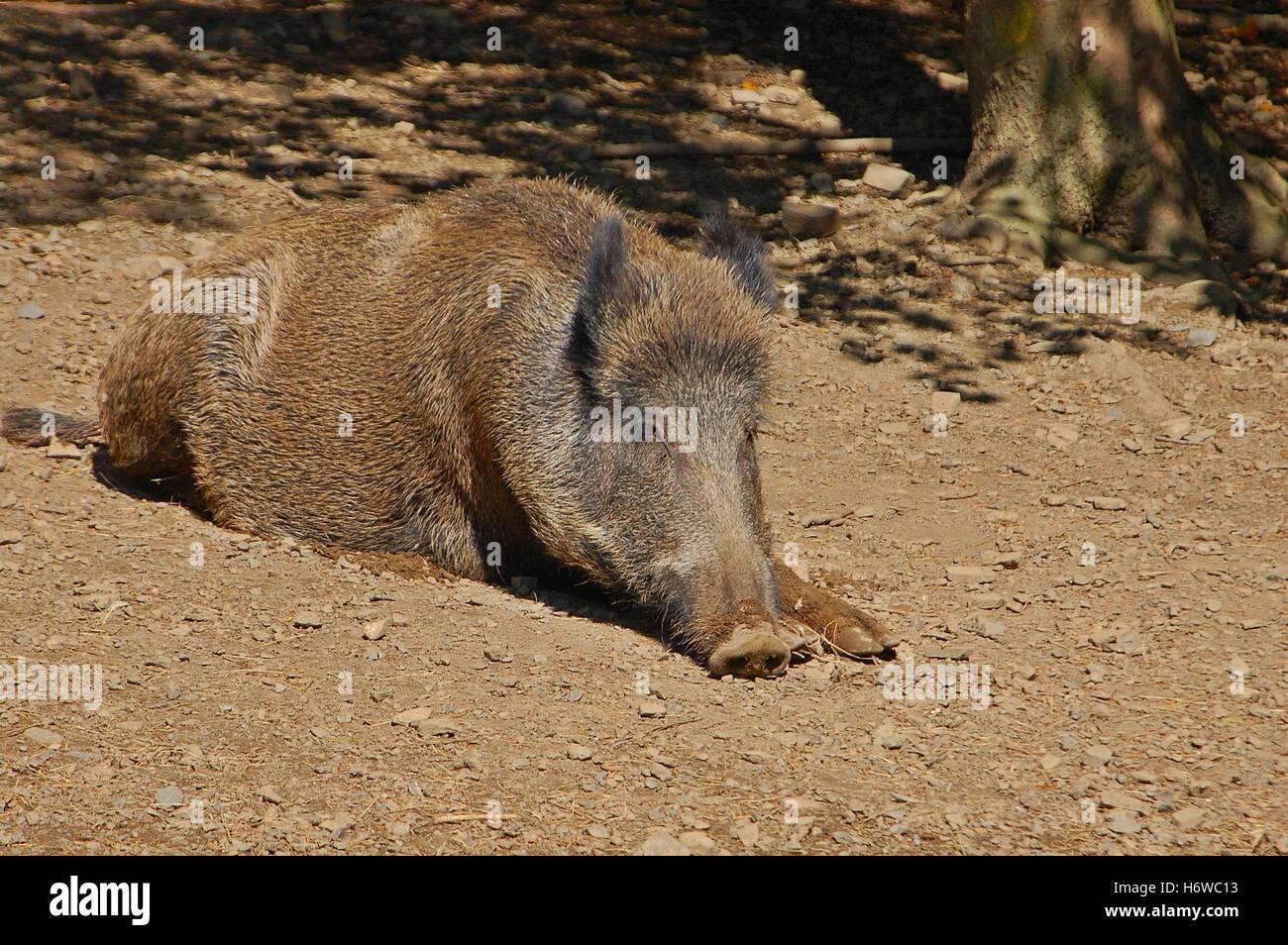 boar sunbathing Stock Photo