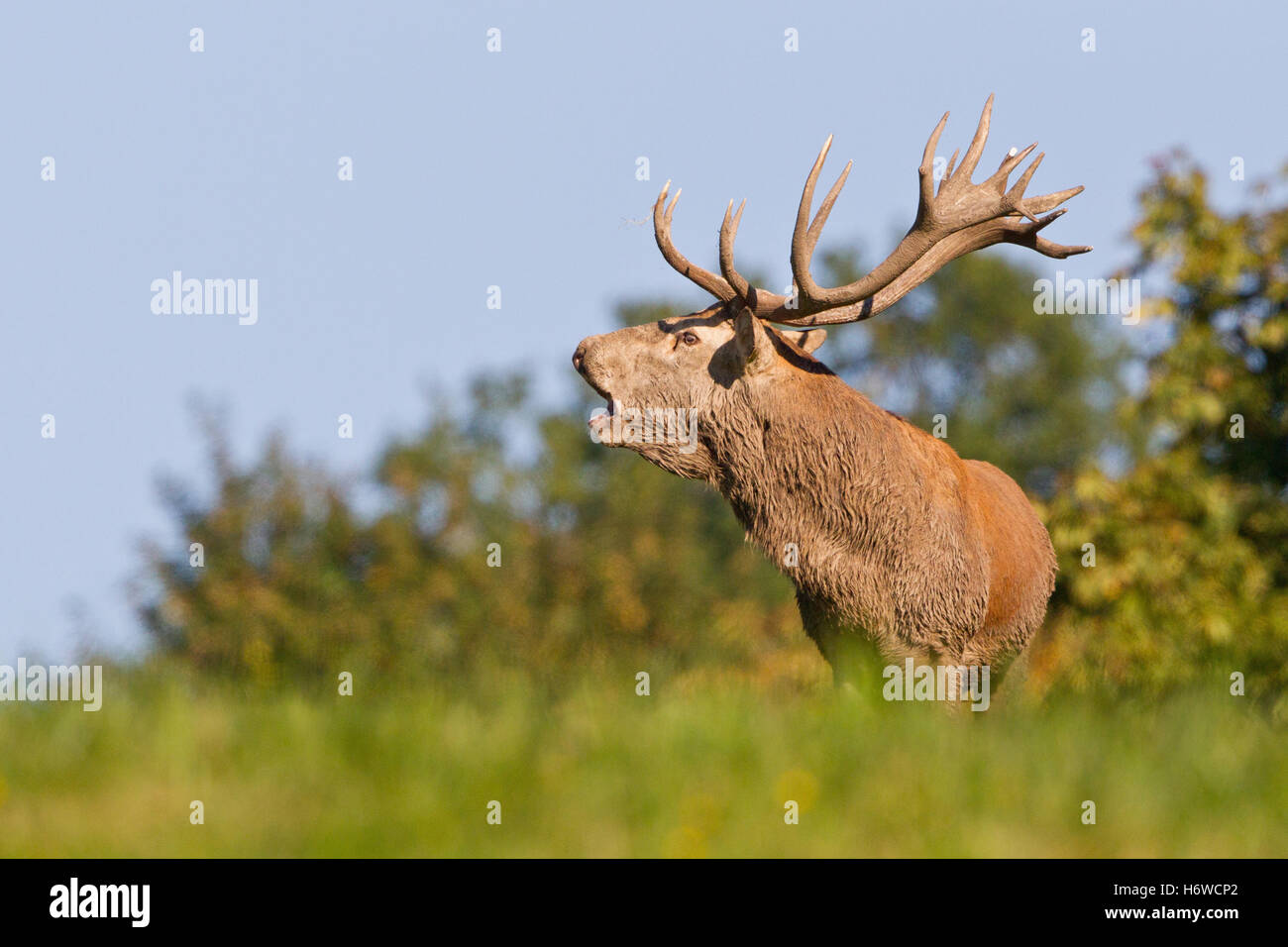 red deer - Stock Image