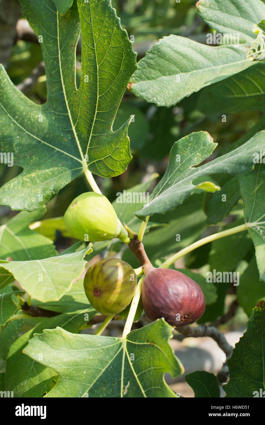 food aliment leaf health sweet closeup tree trees garden leaves agriculture farming botany summer summerly water - Stock Image