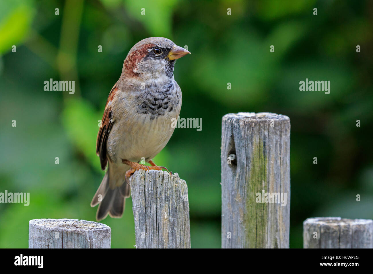 House sparrow (Passer domesticus) on fence post. - Stock Image