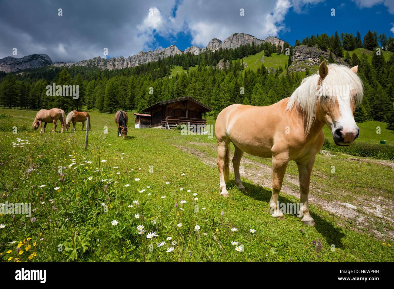 Haflinger horses in an alpine pasture near Misurina, Sexten Dolomites, South Tyrol, Italy. - Stock Image