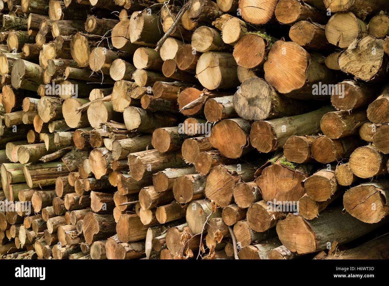 Pile of cutted trunks in the forest for firewood - Stock Image