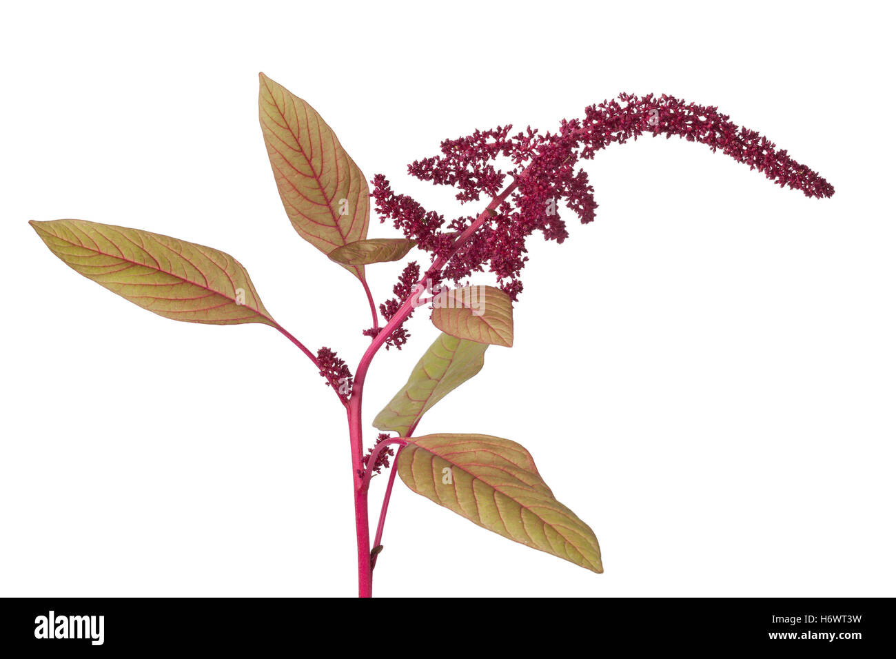 Twig with amaranth flowers on white background - Stock Image