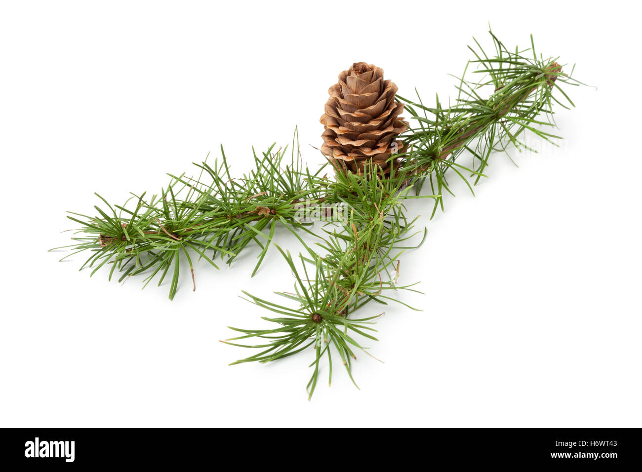 Conifer twig with cone for decoration on white background - Stock Image