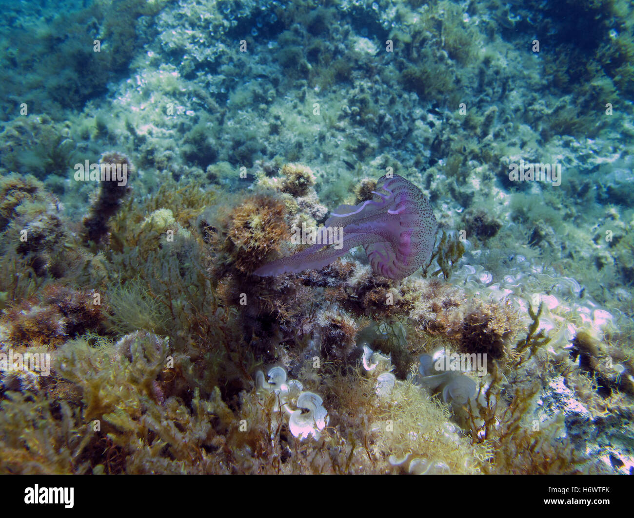 A Purple Stinger Jellyfish on a Mediterranean reef. Stock Photo