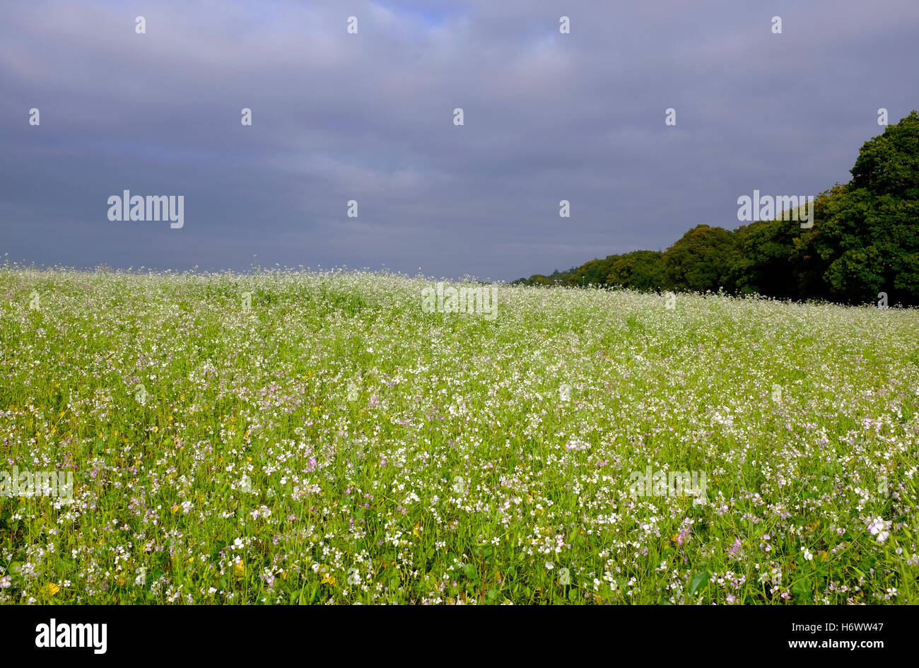 oil radish crop growing in field, norfolk, england - Stock Image