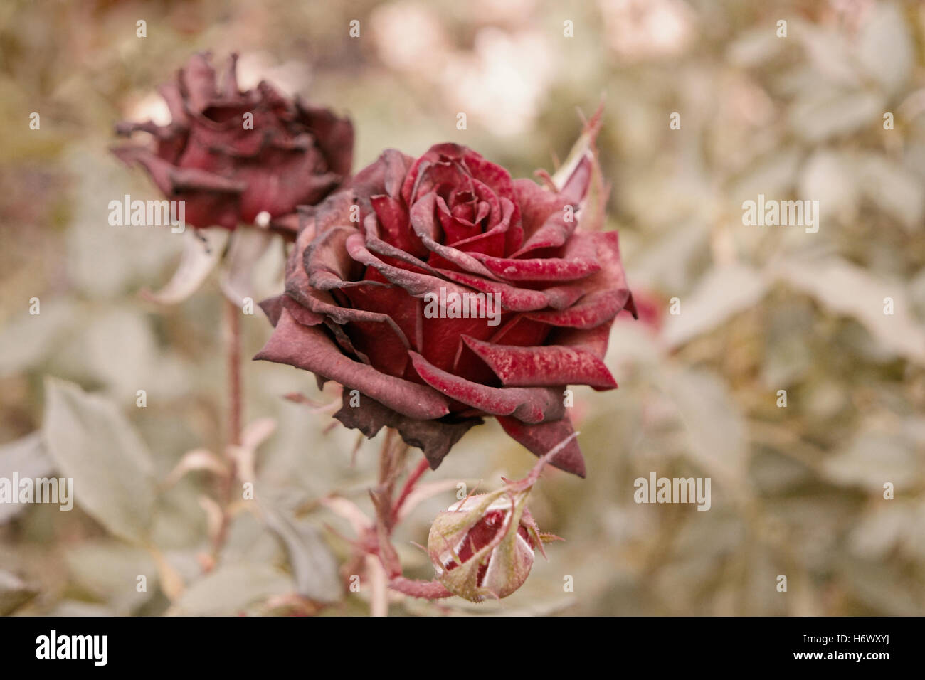 Deep red roses in autumn garden. Two rose flowers dying in fall, a ...