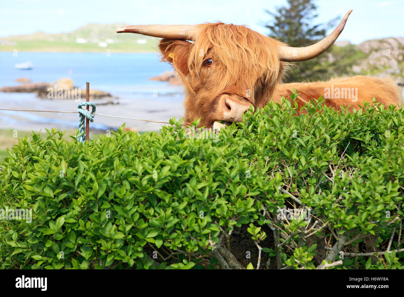 Highland cow eating a hedge as there are areas of common grazing which means the animals are not fenced in and can - Stock Image