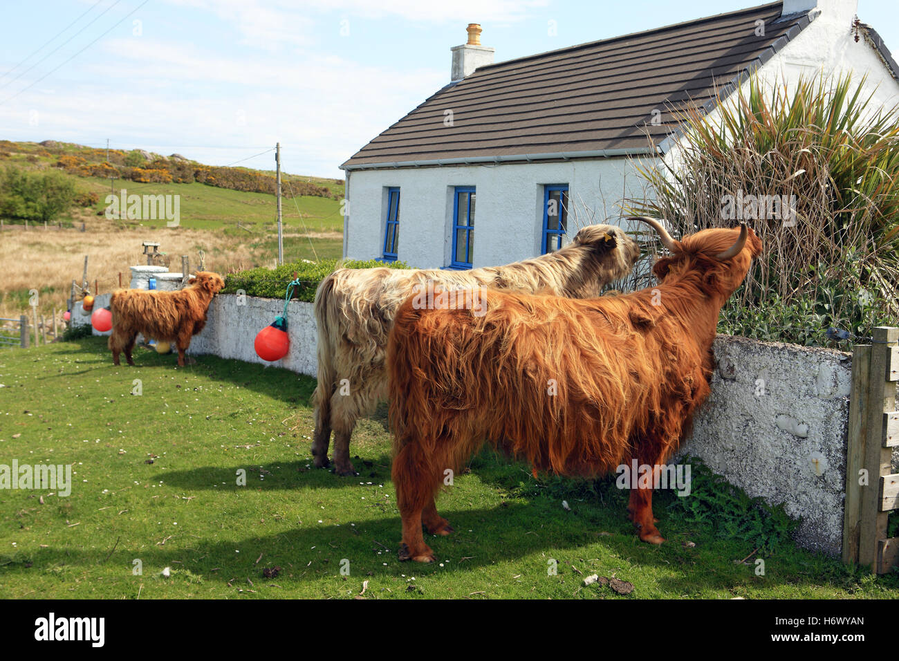 Highland cows on common grazing land eating the plants and hedge of a cottage garden in Fionnphort Isle of Mull, - Stock Image