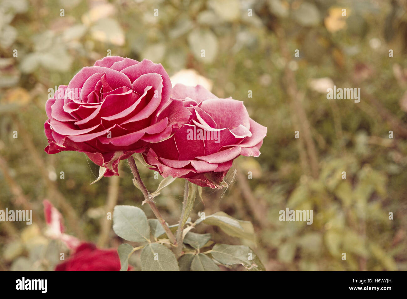 Pink roses in autumn garden. Two rose flowers dying in fall, a lot ...
