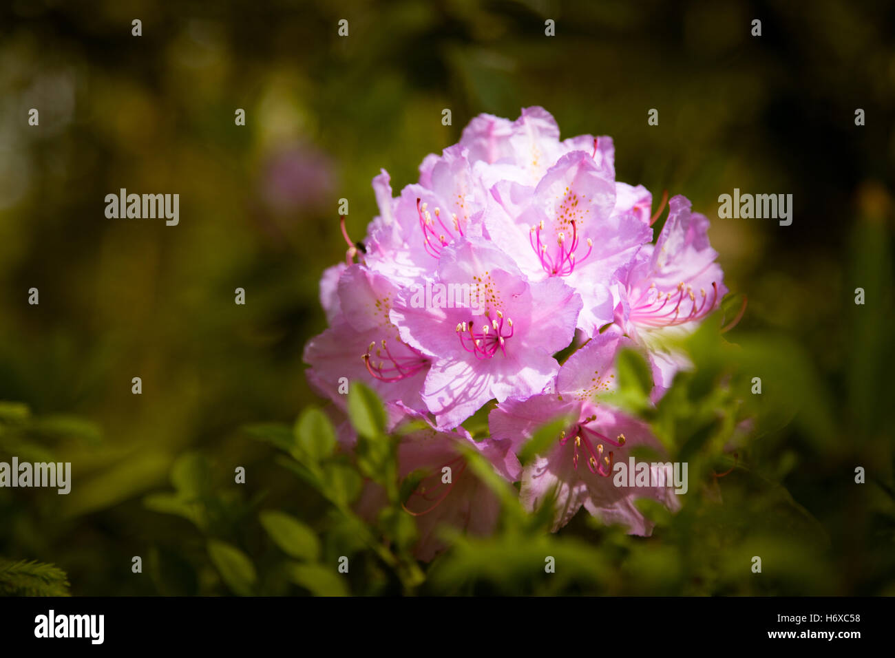 Beautiful rhododendron flowers in a forest garden stock photo beautiful rhododendron flowers in a forest garden izmirmasajfo