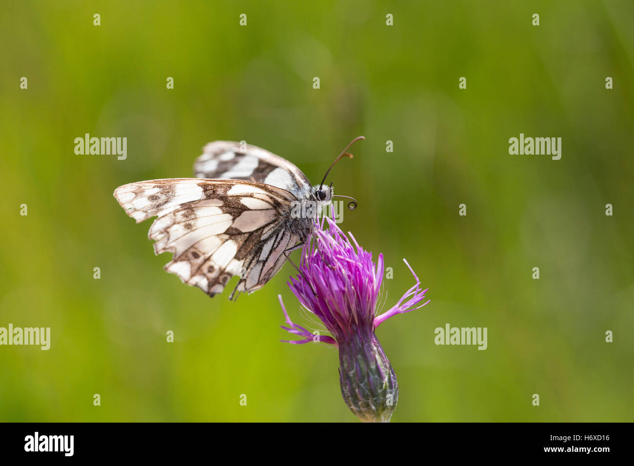 Marbled White Butterfly; Melanargia galathea Single on Flower Cornwall; UK - Stock Image