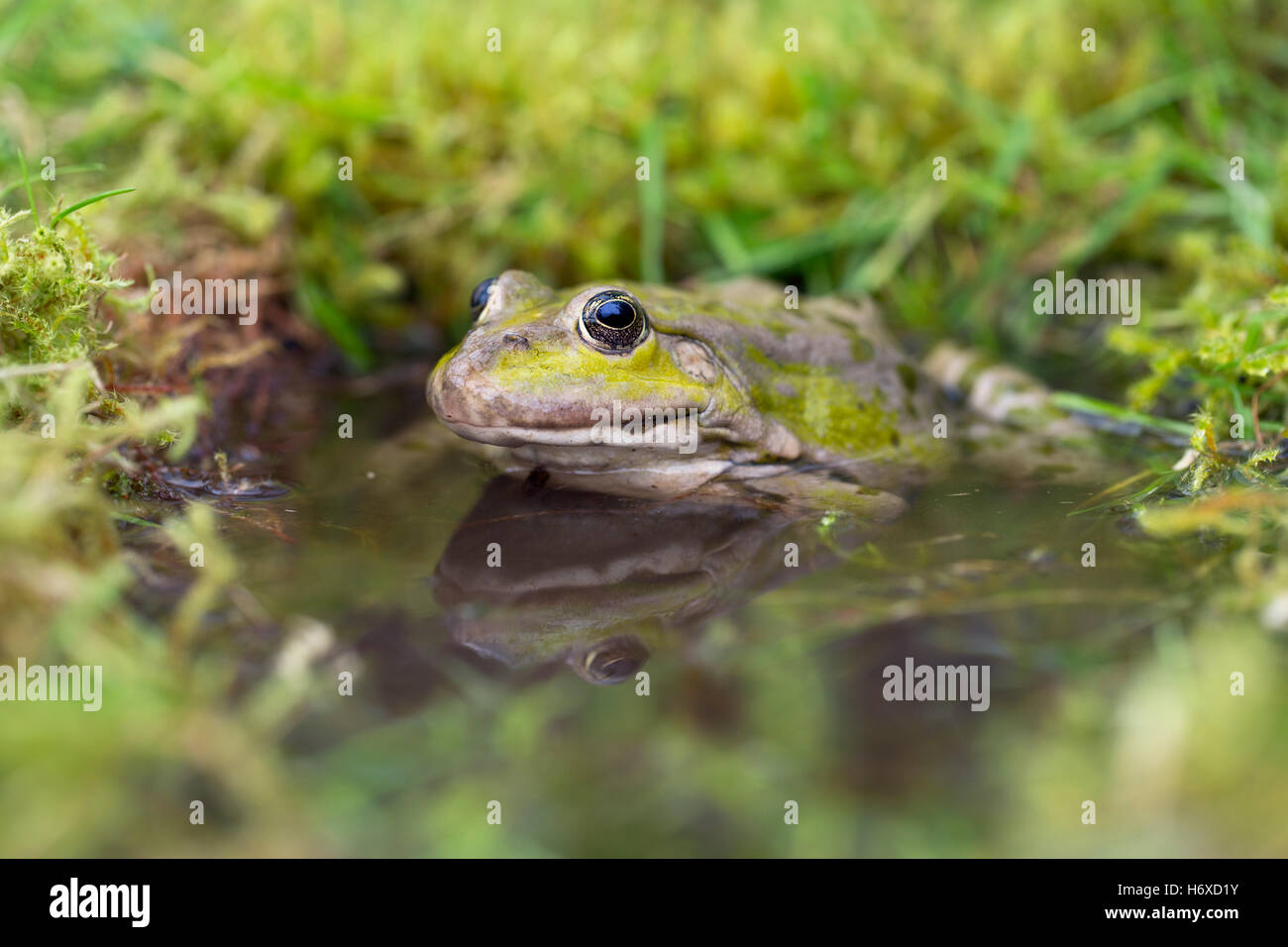 Marsh Frog; Pelophylax ridibundus Single in Water UK - Stock Image