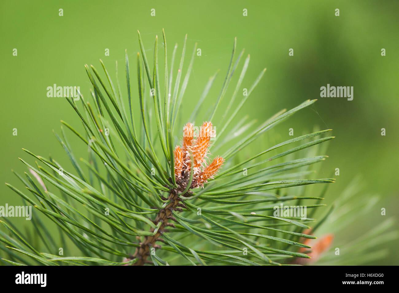 Beautiful pine tree branch - Stock Image
