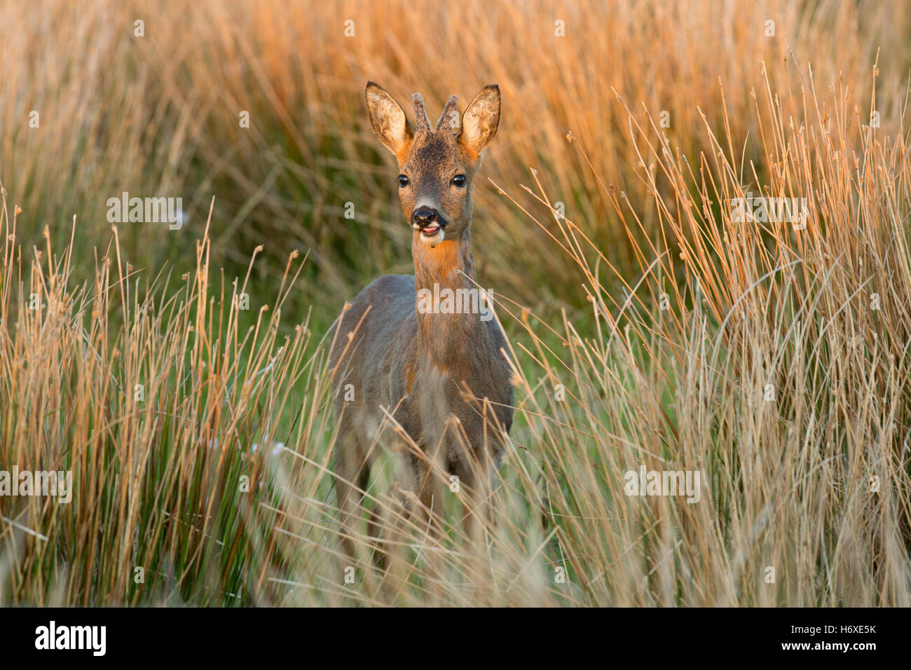 Roe Deer; Capreolus capreolus Single Buck in Meadow Scotland; UK - Stock Image