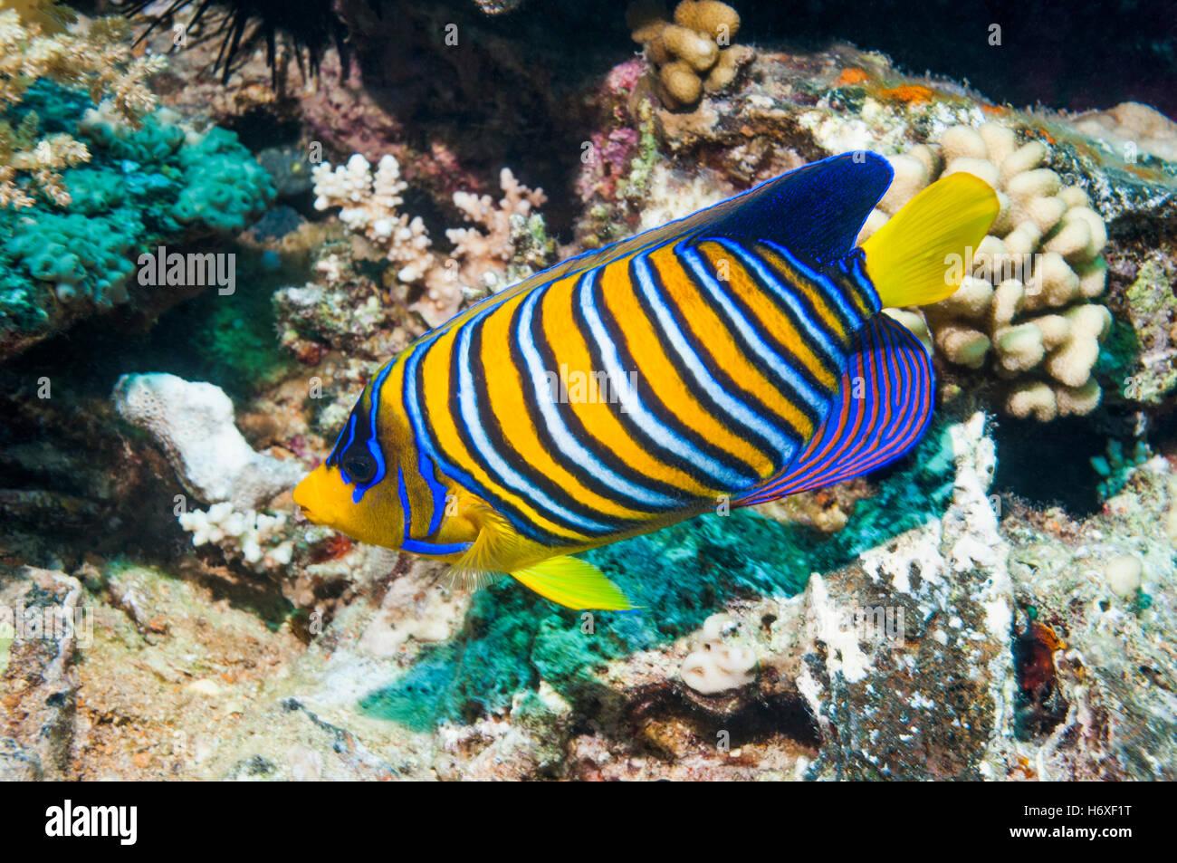 Regal angelfish [Pygoplites diacanthus].  Egypt, Red Sea. - Stock Image