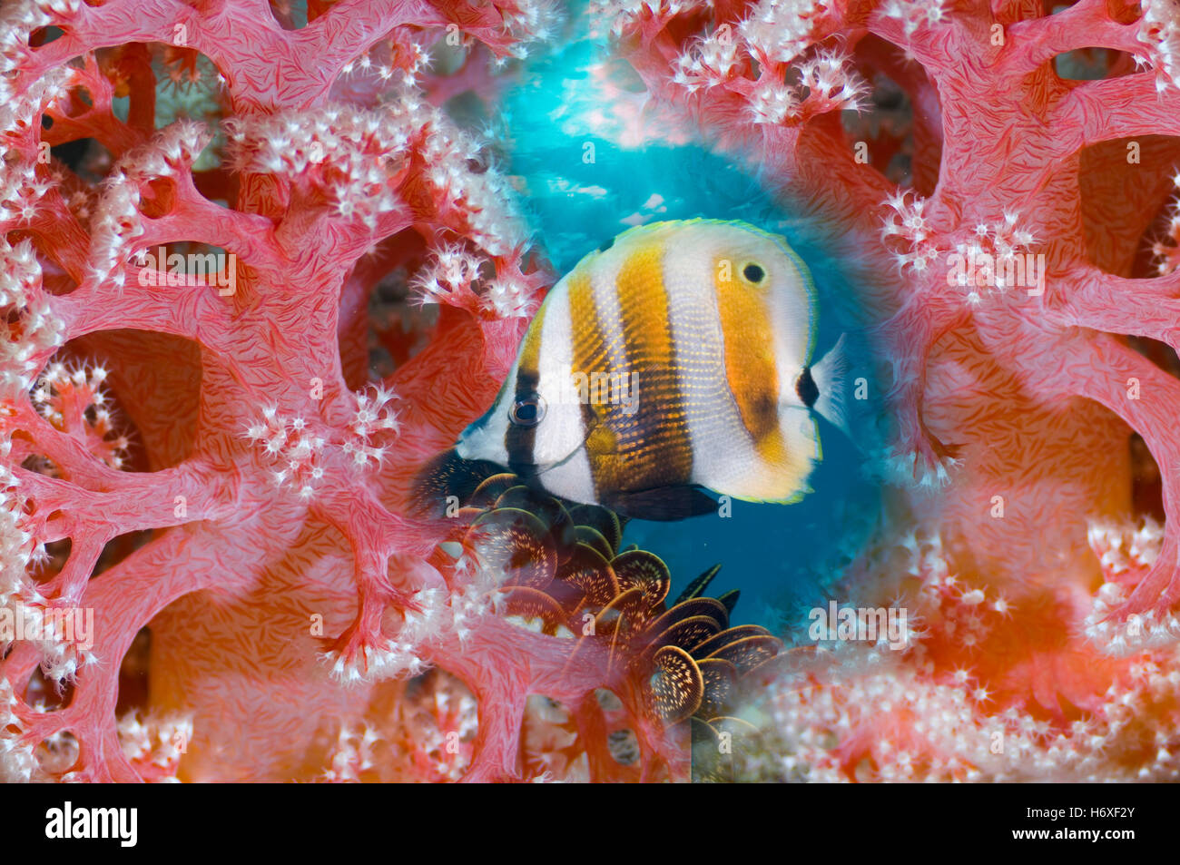 Montage of Orange banded coralfish with soft corals.  Indo-Pacific. - Stock Image