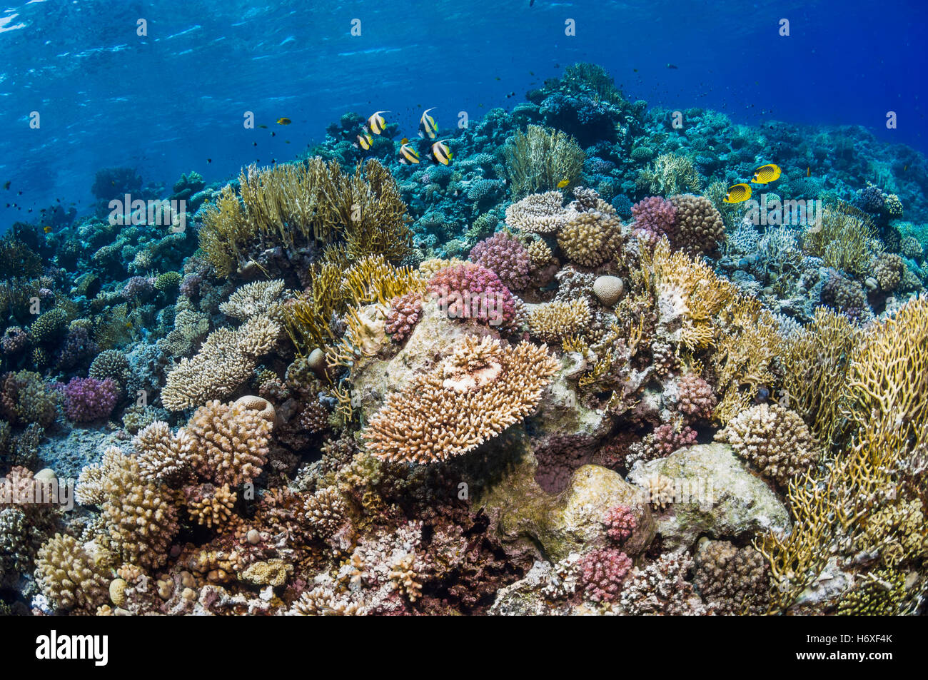 Top of coral reef with Red Sea bannerfish [Heniochus intermedius] and Red Sea butterflyfish [Chaetodon fasciatus]. - Stock Image