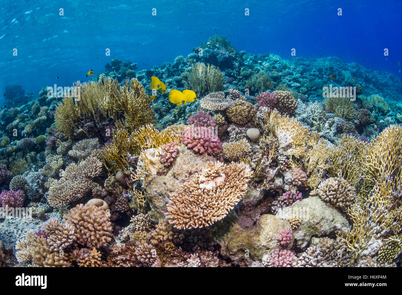 Top of coral reef with Golden butterflyfish [Chaetodon semilarvatus].  Egypt, Red Sea. - Stock Image