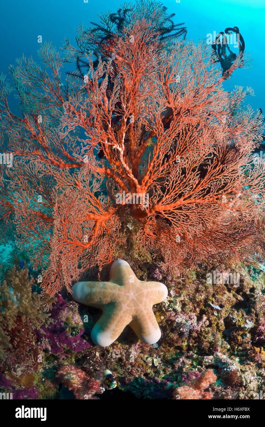 Granulated starfish (Choriaster granulatus) with gorgonian on coral reef.  Misool, Raja Ampat, West Papua, Indonesia. Stock Photo